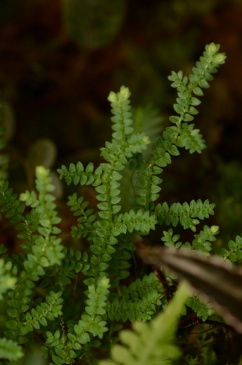 Selaginella species Peru
