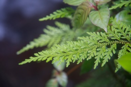 Selaginella sp.