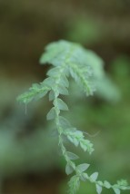 Selaginella white