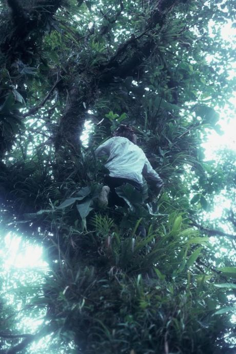 Ian climbing a tree with O. arborea calling above