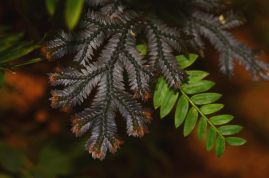 Selaginella species Rambala