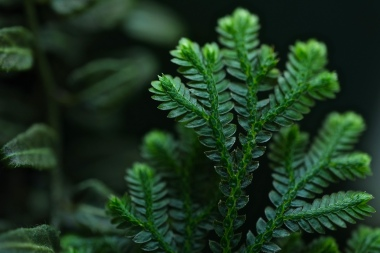 selaginella blue