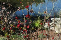 Red Quince