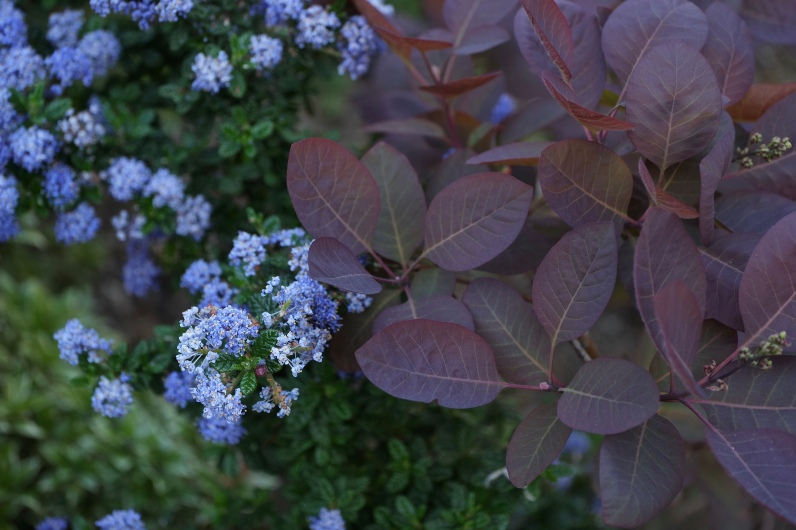 Cotinus and Cali Lilac